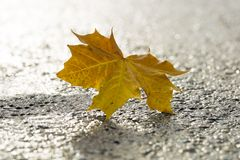 Yellow Maple Leaf on Tarmac Stock Photo