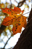 Yellow maple leaf on a tree Royalty Free Stock Image