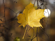 Yellow maple leaf on the tree branches. Stock Image