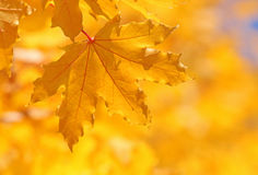 Yellow maple leaf on tree Stock Photo