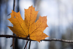 Yellow maple leaf on the tree Stock Image