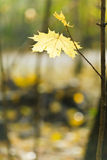 Yellow maple leaf on twig Royalty Free Stock Images