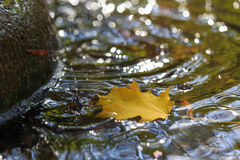 Yellow maple leaf with water splash. Yellow maple leaf with water splash and riddles in the pond`s water Stock Photos