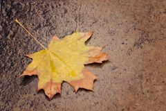 Yellow maple leaf on wet asphalt. Autumn concept Stock Image