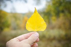 Yellow maple leaf on wet asphalt. Autumn concept Royalty Free Stock Image