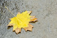 Yellow maple leaf on wet asphalt. Autumn concept.  royalty free stock image
