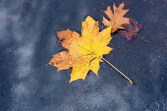 Yellow maple leaf on wet asphalt. Maple yellow leaf on wet asphalt in a puddle Stock Image