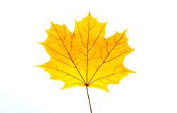 Yellow maple leaf. On a white background Royalty Free Stock Photos