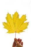 Yellow maple leaf on  white background Royalty Free Stock Images