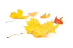 Yellow maple leaf on white background Royalty Free Stock Photos