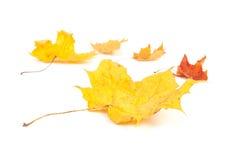 Yellow maple leaf on white background Royalty Free Stock Photos