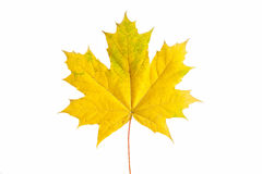 Yellow maple leaf on white background Stock Images
