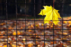 Yellow maple leaf on a wire fence Royalty Free Stock Photos