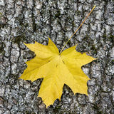 Yellow maple leaf. On wooden background Stock Image