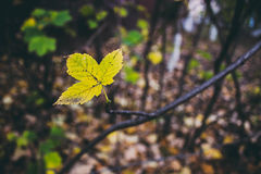 Yellow maple leave Stock Photography