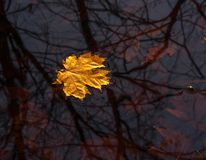 Yellow maple leave floating on the water,. Yellow maple leave floating on the water Stock Photography