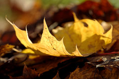 Yellow maple leave. Lying on brown autumn leaves, closeup Royalty Free Stock Images
