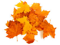 Yellow maple leaves. On white background Stock Images
