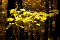 Yellow Maple Leaves. Maple leaves highlighted by sunlight Royalty Free Stock Images
