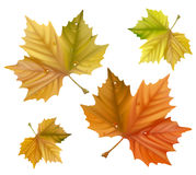 Yellow maple leaves. Royalty Free Stock Photography