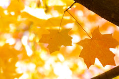 Yellow maple leaves. Two yellow maple leaves on  yellow bright blurry background Royalty Free Stock Photography