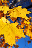 Yellow maple leaves Stock Photo