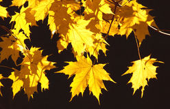 Yellow Maple Leaves  Royalty Free Stock Image