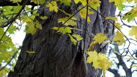 Yellowed maple leaves against the background of the trunk of the acacia rustle in the wind. Yellow maple leaves on acacia tree background stock video footage