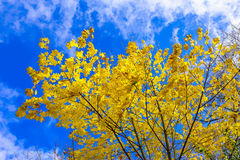 Yellow Maple Leaves Against Blue Cloudy Sky. In Autumn Season Stock Photography
