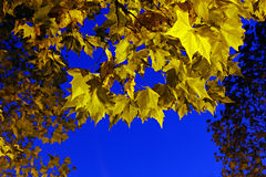 Yellow maple leaves against and blue sky Royalty Free Stock Photo