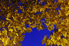 Yellow maple leaves against and blue sky Stock Image