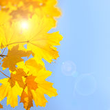 Yellow Maple Leaves against Blue Sky background with Sun - Autum Stock Photo
