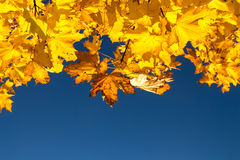Yellow maple leaves against the blue sky. Royalty Free Stock Photography