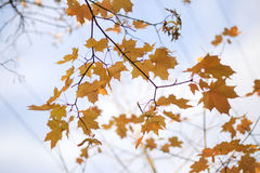 Yellow maple leaves against the sky. Yellow maple leaves on the branches against the blue sky Royalty Free Stock Images