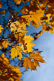 Yellow maple leaves against the sky Stock Image
