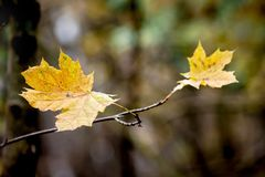 Yellow maple leaves against trees in the woods. Late autumn in t royalty free stock photos