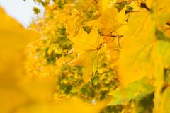 Yellow maple leaves. In autumn Stock Images