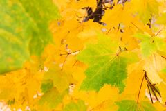 Yellow maple leaves. In autumn Stock Photo