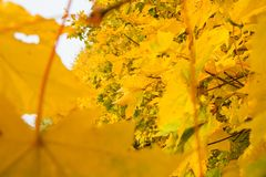Yellow maple leaves. In autumn Stock Photography