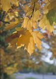 Yellow maple leaves in autumn Stock Image