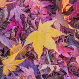 Yellow Maple Leaves Stock Image