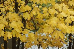 Yellow maple leaves in the autumn. Yellow maple leaves on the branches with the river seen through them. Concept of autumn. For  articles, journals, notebook and Stock Photo