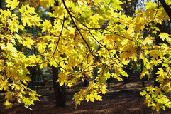 Yellow maple leaves. Autumn maple leaves closeup on sunlight day stock photos