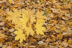 Yellow maple leaves in autumn Royalty Free Stock Images