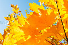 Yellow maple leaves in autumn forest Royalty Free Stock Photo