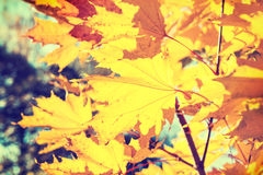 Yellow maple leaves in autumn forest. Royalty Free Stock Images