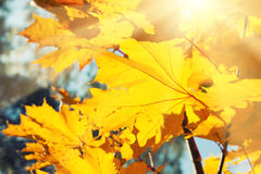 Yellow maple leaves in autumn forest at sunny day. Yellow maple leaves in a forest at sunny day. Beautiful autumn landscape Royalty Free Stock Photos