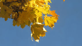 Yellow maple leaves in autumn. Yellow maples leaves in autumn with blue sky copy space Stock Photo