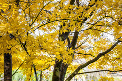 Yellow maple leaves - Autumn mood Royalty Free Stock Image