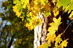 Yellow maple leaves in autumn park. Royalty Free Stock Photography